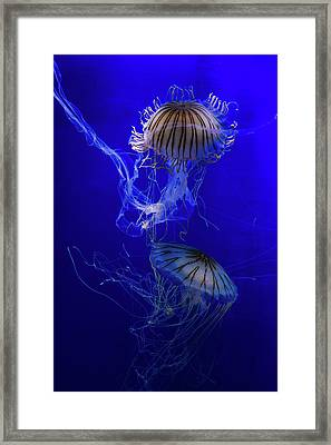 Jellyfish Framed Print by Pati Photography
