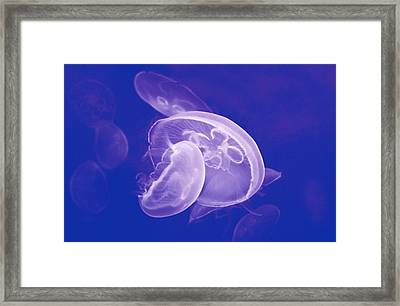 Jellyfishes In Blue Framed Print by Gret@lorenz
