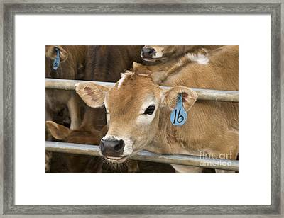 Jersey Calf Framed Print by Inga Spence
