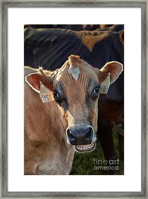 Jersey Cow Communicating Framed Print by Inga Spence