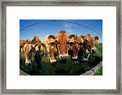 Jersey Cows At Trough Framed Print by Inga Spence