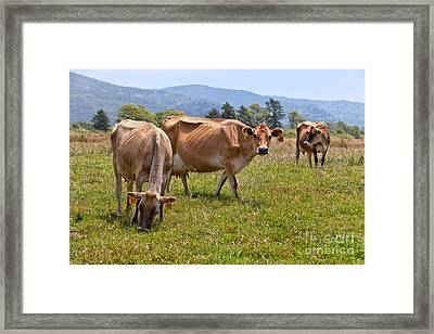 Jersey Dairy Cows Grazing Framed Print