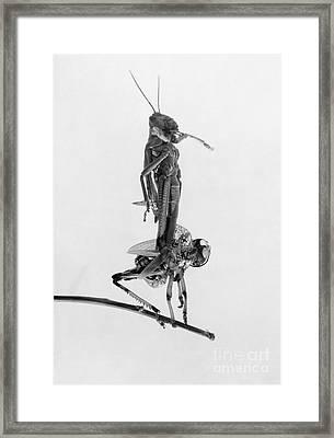 Jerusalem: Locusts, 1915 Framed Print by Granger
