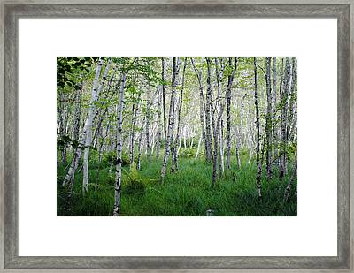 Jesup Path Birches Framed Print by Steven Scott
