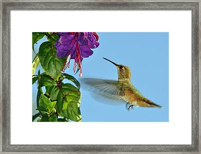 Jeweled Rufous In Afternoon Light Framed Print