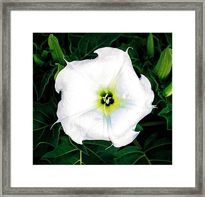 Framed Print featuring the photograph Jimson Weed #1 by Lou Novick