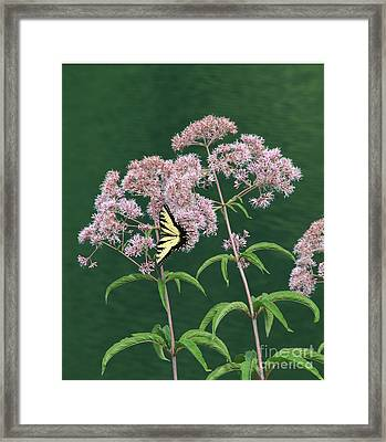 Joe Pye Weed Framed Print by Marilyn Carlyle Greiner