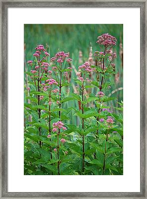 Joe-pye Weed Framed Print