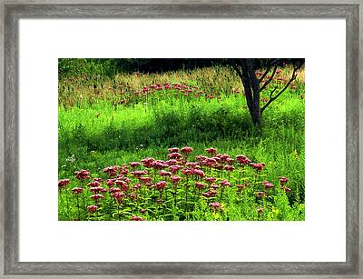 Joe Pye Weed Framed Print