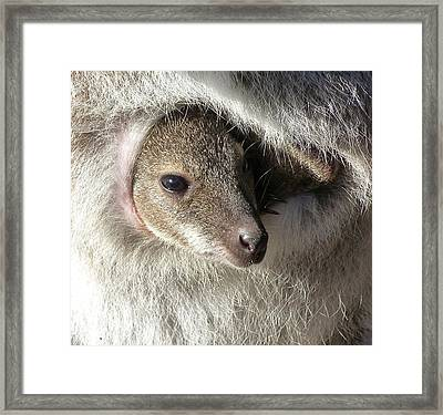 Joey In Pouch - Red-necked Wallaby Framed Print by Margaret Saheed