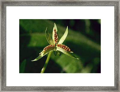 Johnny Jump-up Seeds Framed Print