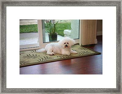 Jolie The Bichon Frise Framed Print