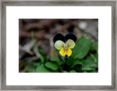Jonny Jump Up - Relative To A Pansy Framed Print