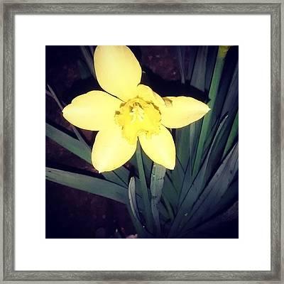Jonquil At Night. #daffodil Framed Print