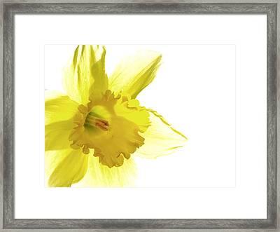 Jonquil Light Framed Print by Angela Davies