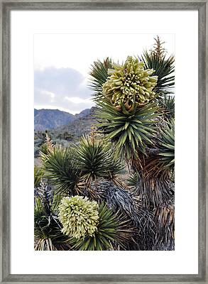 Joshua Tree Bloom Rainbow Mountain Framed Print