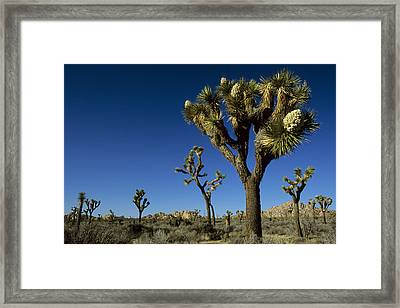 Joshua Tree In Bloom Among Others Framed Print by Tim Laman