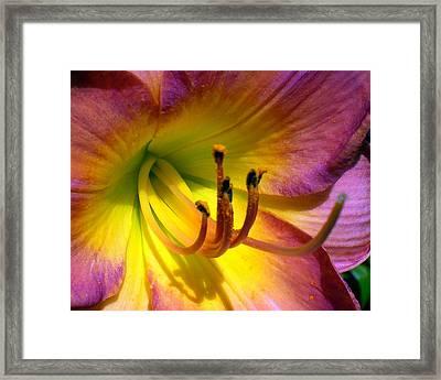 Joyful Lily Framed Print by Cynthia Daniel