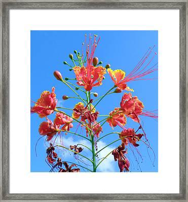 Jubilation Framed Print by Rose  Hill