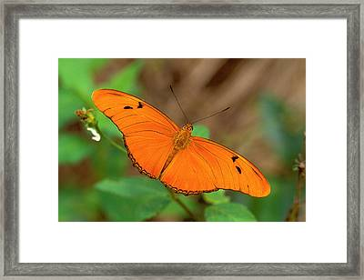 Julia Butterfly Framed Print