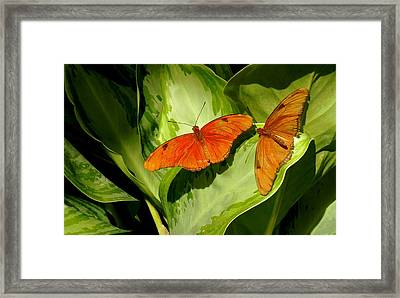 Framed Print featuring the photograph Julia Butterfly Pair by Rosalie Scanlon