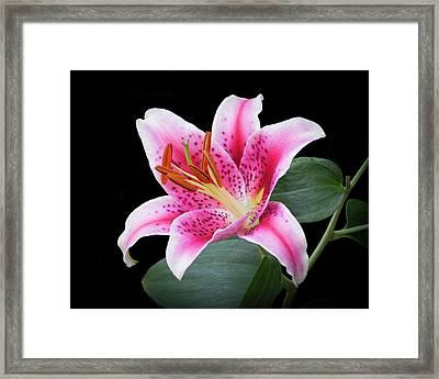 July Stargazer Lily Framed Print