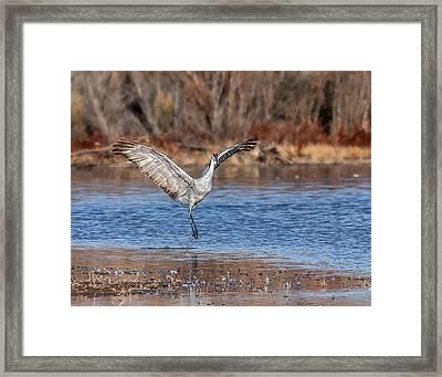 Jump - Sandhill Crane - Bosque Framed Print