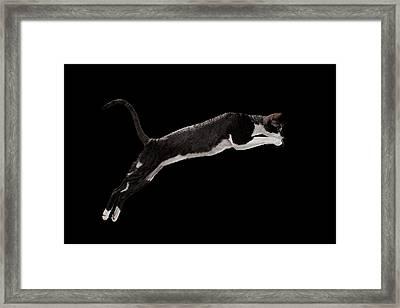 Jumping Cornish Rex Cat Isolated On Black Framed Print