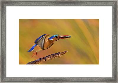 Jumping Jewel Framed Print by Basie Van Zyl