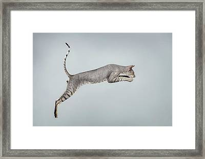 Jumping Peterbald Sphynx Cat On White Framed Print by Sergey Taran