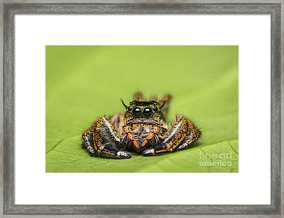 Jumping Spider On Green Leaf. Framed Print by Tosporn Preede