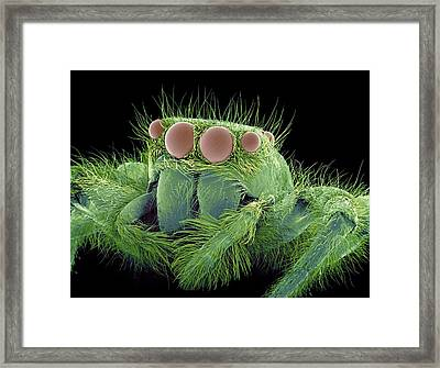 Jumping Spider, Sem Framed Print by Susumu Nishinaga