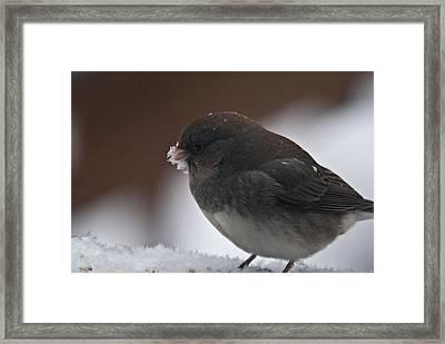 Junco In Snow Framed Print by Douglas Barnett