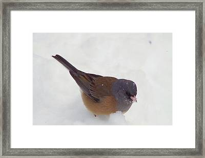 Junco In The Snow Framed Print