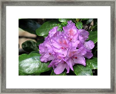 June Daphnoides Framed Print by Chris Anderson