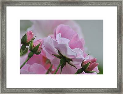 June Roses 1 Framed Print by Gerald Hiam