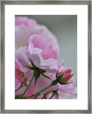 June Roses 2 Framed Print by Gerald Hiam