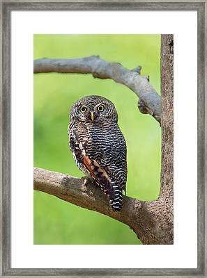 Jungle Owlet Glaucidium Radiatum Framed Print