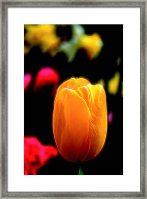 Just A Tulip Framed Print
