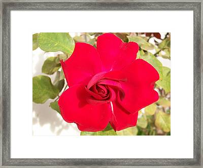 Just Another Rose Framed Print by Caroline  Urbania Naeem