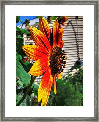Just Another Sunflower Framed Print by Dustin Soph