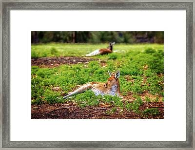 Framed Print featuring the photograph Just Chillin, Yanchep National Park by Dave Catley