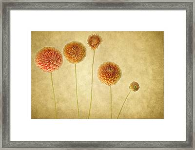 Just Dahlia-ing Around Framed Print by Rebecca Cozart
