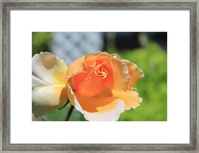 Just Joey Rose Framed Print