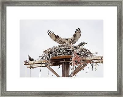 Just Landing Framed Print by James Steele