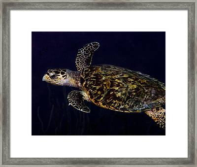 Just Passing Through Hawksbill Turtle Framed Print by Jean Noren