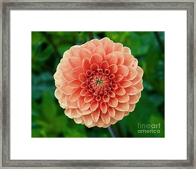 Just Peachy Framed Print by Alice Mainville