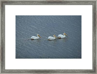 Triple Pelicans Lake John Swa Co Framed Print
