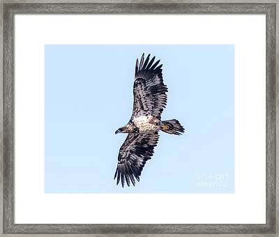 Framed Print featuring the photograph Juvenile Bald Eagle 2017 by Ricky L Jones