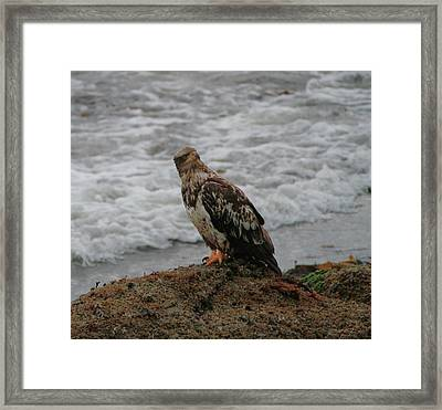 Juvenile Bald Eagle At Cape Flattery Framed Print by Dan Sproul